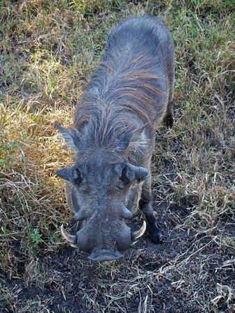 Savanna Private Game Reserve: warthog