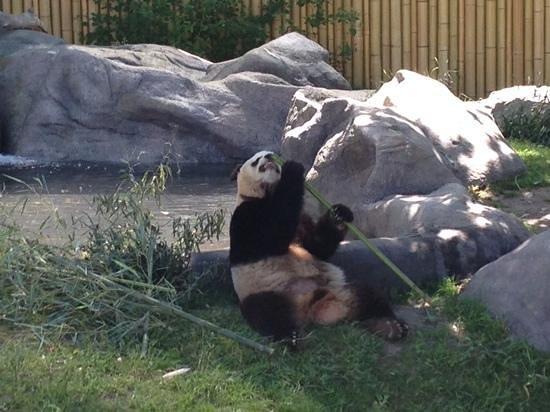 Toronto Zoo: panda