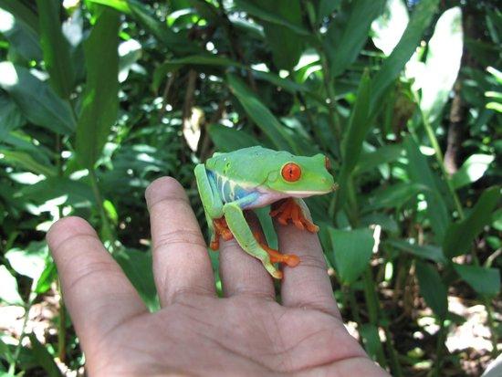 Jicaro Island Ecolodge Granada: Red-eyed treefrog