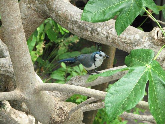 Jicaro Island Ecolodge Granada: Magpie-jay