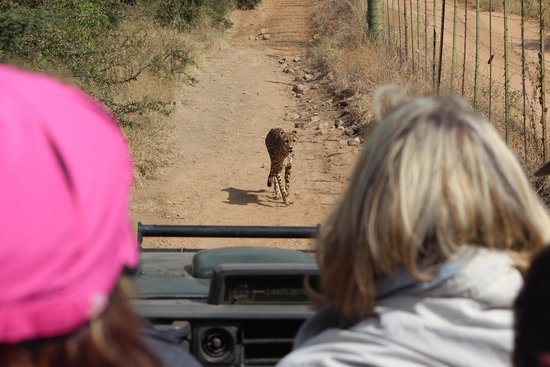 Tshukudu Game Lodge: Thombi the female Cheetah following us on our morning game drive