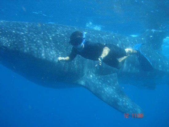 Isla Mujeres, Mexico: More Whale sharks!