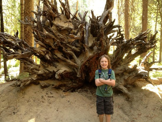 Mirror Lake/Meadow Trail: tree root