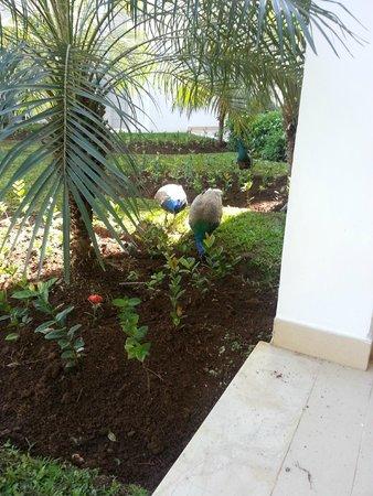 Secrets St. James Montego Bay: Peacocks on property