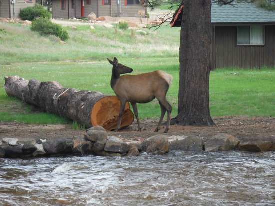 Manor RV Park: Manor RV elk visitors