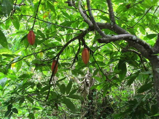 Toledo Cave & Adventure Tours - Day Tours: Cacao pods