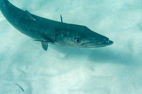 FunSeaker: Barracuda