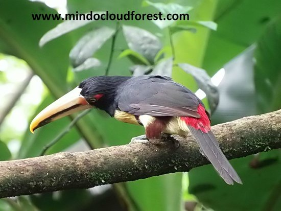 Mindo Nambillo Cloud Forest Reserve: Toucan endemic to Mindo Cloudforest
