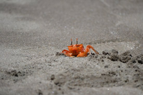The Resort at Isla Palenque: Ghost crabs > cartoons