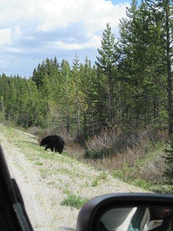 Fairmont Chateau Lake Louise: Black bear munching on dandelions by road to Lake Louise