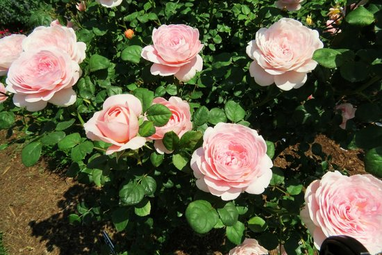 Norfolk Botanical Garden : stop and smell the roses