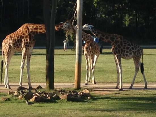 Australia Zoo : Giraffes eating dinner.