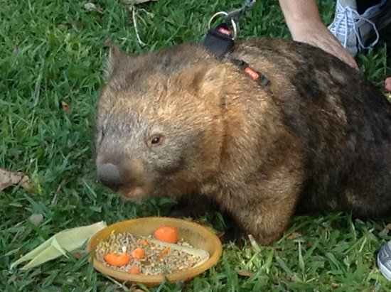 Australia Zoo : Wombat eating his dinner