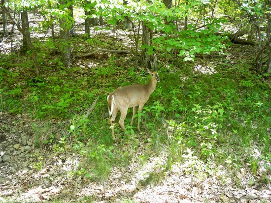 Skyline Drive: Deer