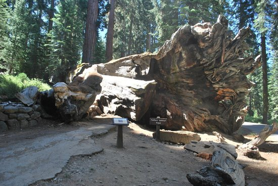 Mariposa Grove of Giant Sequoias: another fallen warrior