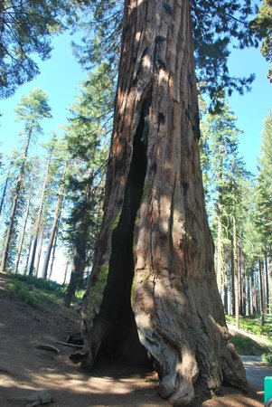 Mariposa Grove of Giant Sequoias: amazing