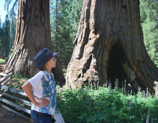 Mariposa Grove of Giant Sequoias: son posing with these gentle giants
