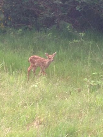 The Resort at Port Ludlow : Mama deer had a set of twins. Isn't this one cute?