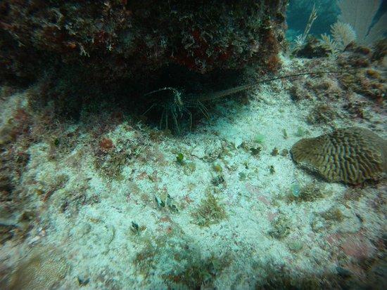 Sea Pro Divers : Lobster