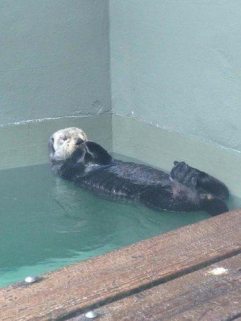 Seattle Aquarium : Sea Otter