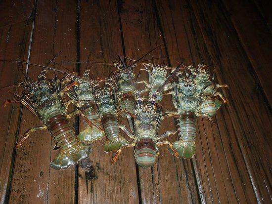 Tikehau Ninamu Resort: The lobsters Paul caught on the reef