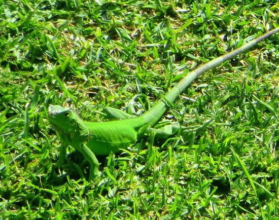 The Grand Mayan Nuevo Vallarta: baby iguana