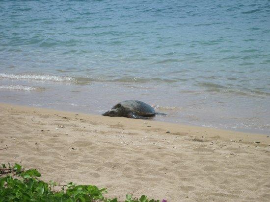 Kahana Village: Turtle!
