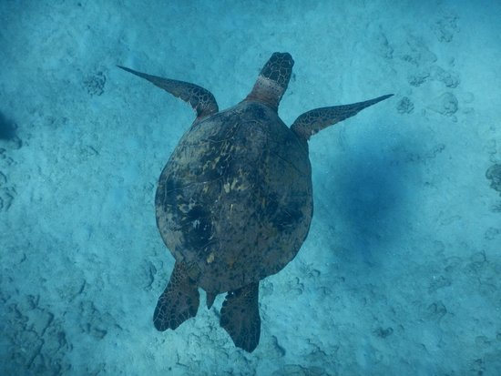 Molokai Fish & Dive Center: One of the turtles we saw while snorkeling.