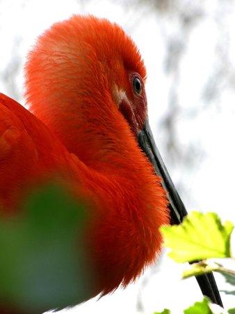 Le PAL: Ibis rouge