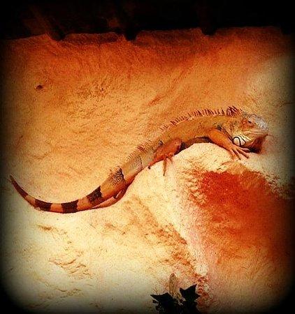 Le Refuge de l'Arche : Iguane