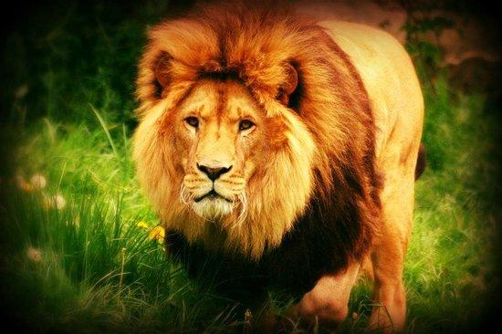 Le Refuge de l'Arche : Lion