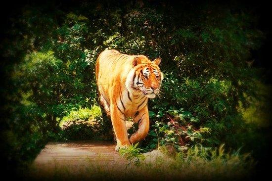 Le Refuge de l'Arche : Tigre