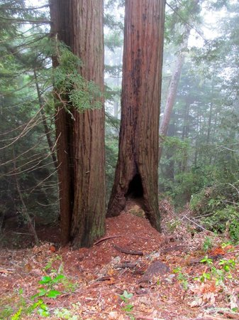 El Corte De Madera: Redwoods