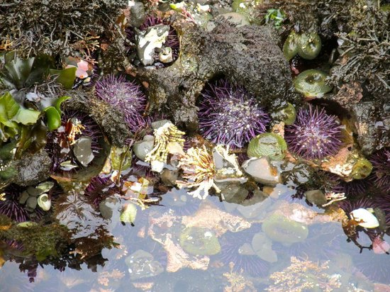 Fitzgerald Marine Reserve: Urchins