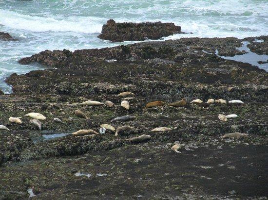 Fitzgerald Marine Reserve: Seals