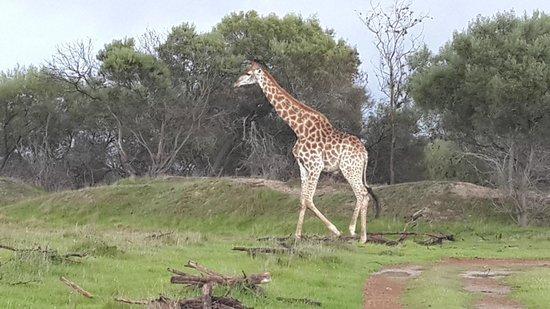 Wild Clover Farm: Giraffe family