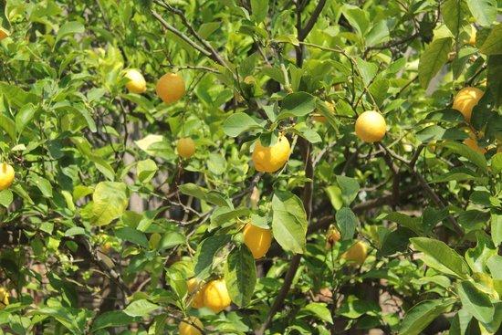 Isoco Guesthouse: Limoni in giardino