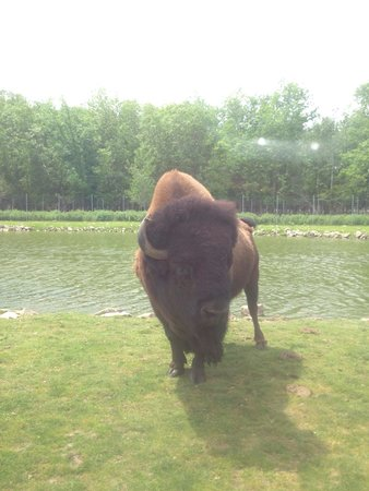 African Lion Safari: Bison