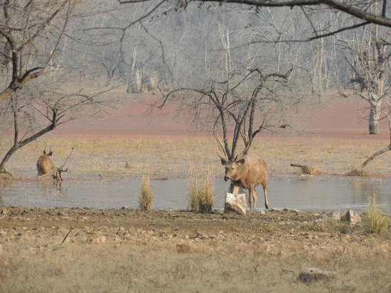 Ranthambore National Park: Sambar Deer