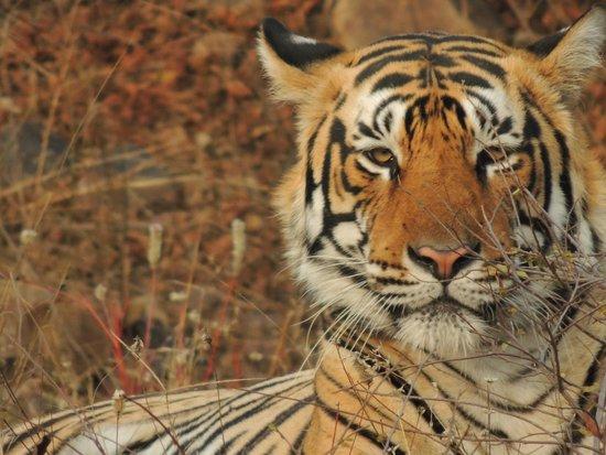 Ranthambore National Park: Majestic look at Ranthambore Jan 2014