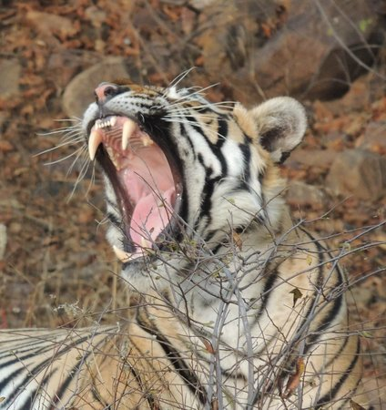 Ranthambore National Park: Getting ready for the afternoon nap.