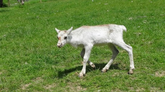 Prinknash Bird And Deer Park: Young reindeer calf, born May 2014