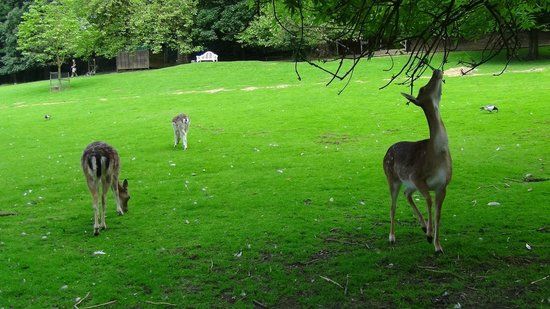 Prinknash Bird And Deer Park: Visitors can mingle freely amongst the deer