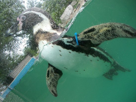 Welsh Mountain Zoo: penguins