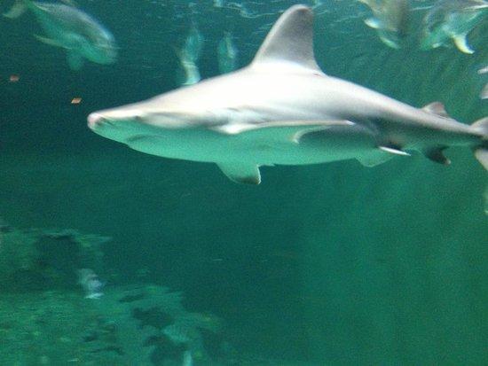 North Carolina Aquarium at Pine Knoll Shores: Shark tank