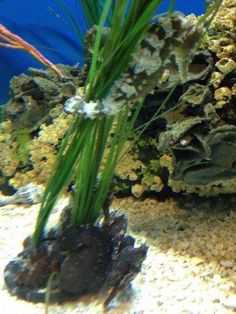 North Carolina Aquarium at Pine Knoll Shores: Sea Horses