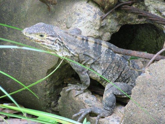 Playa Manuel Antonio: Mr. Iguana