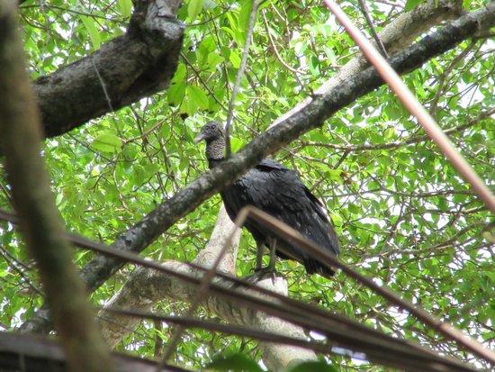 Playa Manuel Antonio: Vulture