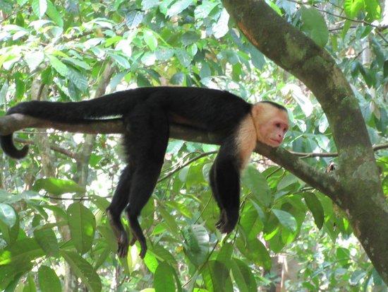 Playa Manuel Antonio: White Faced monkey hanging out