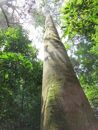 Playa Manuel Antonio: Gigantic tree